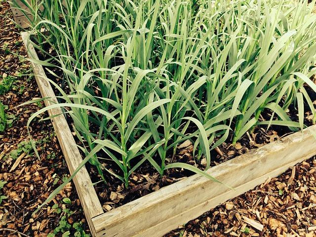 Plant your garlic in Autumn