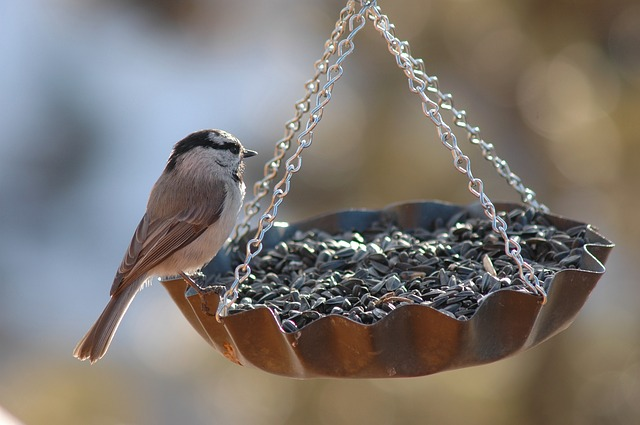 Bird eating Niger Seed