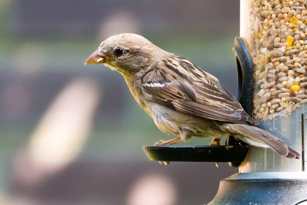 Sparrow Feeding in garden