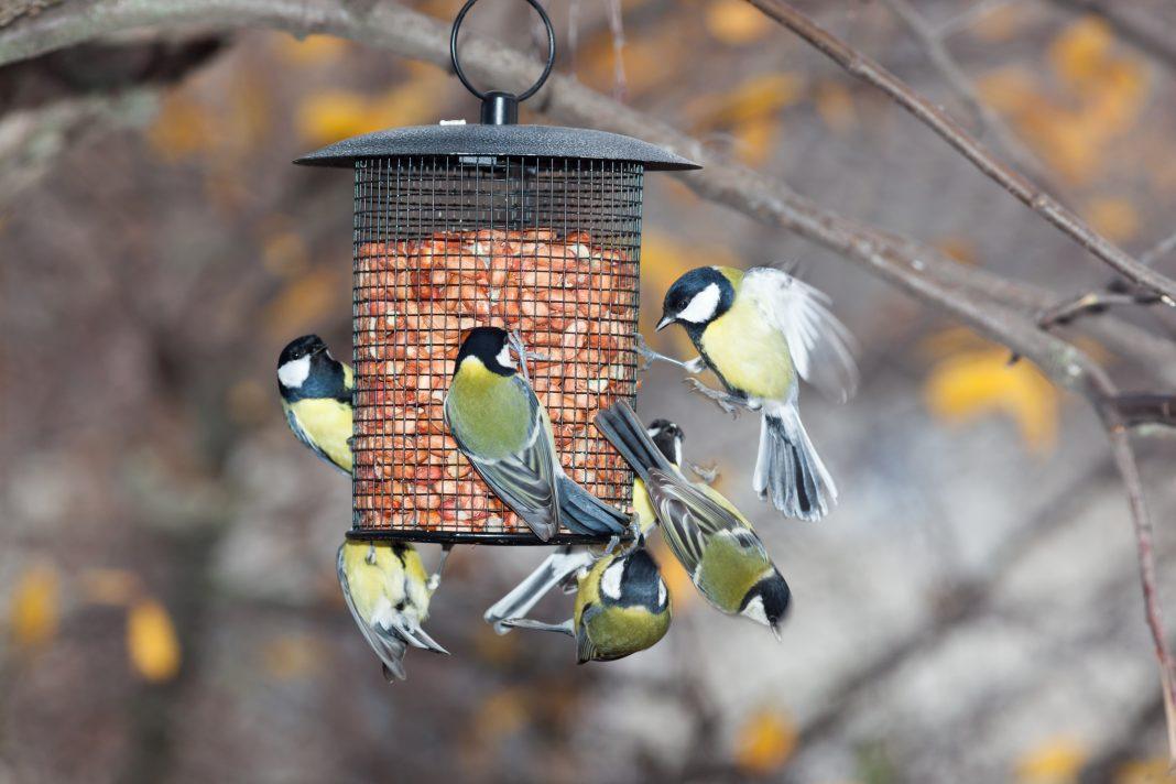 Great Tit on a bird feeder